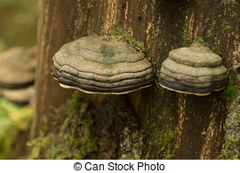 Stock Photo of tinder fungus.