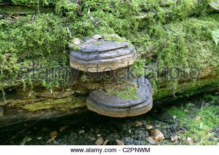 Horse Mushroom Fungus Stock Photos & Horse Mushroom Fungus Stock.