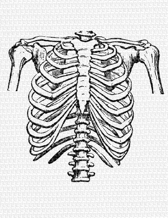 Clipart rib cage.