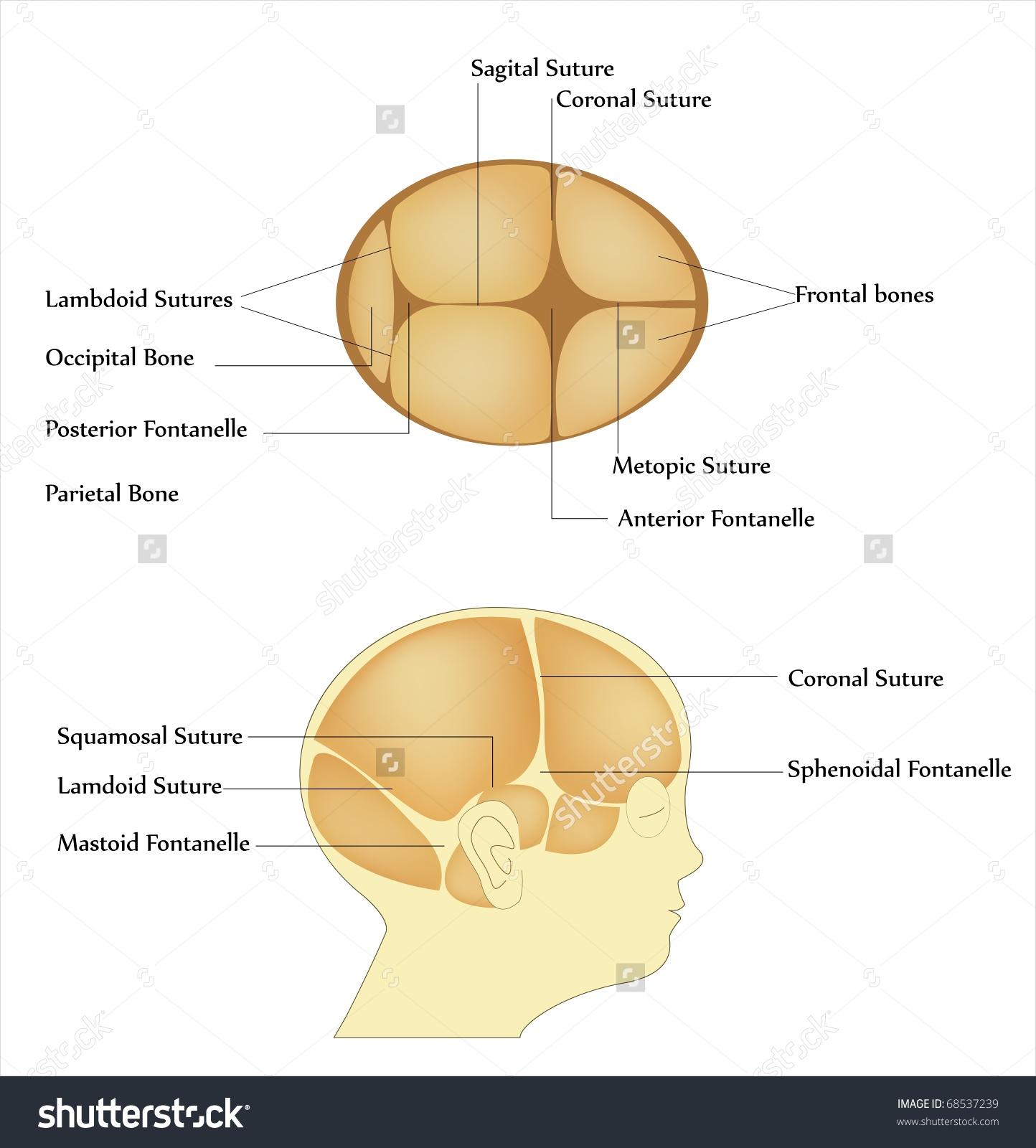 Newborn Skull Bones Fontanel Sutures Stock Illustration 68537239.