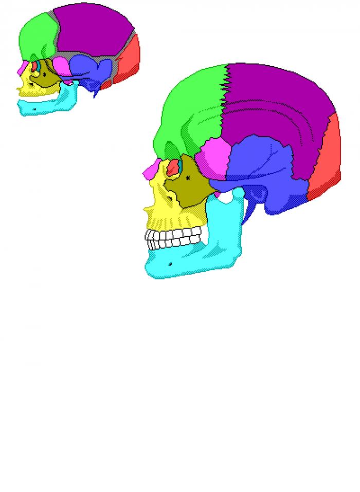 Infant Skull and Fontanelles.