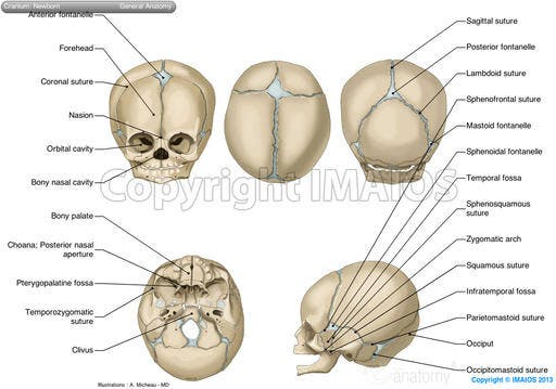 Skull: anatomical illustrations.