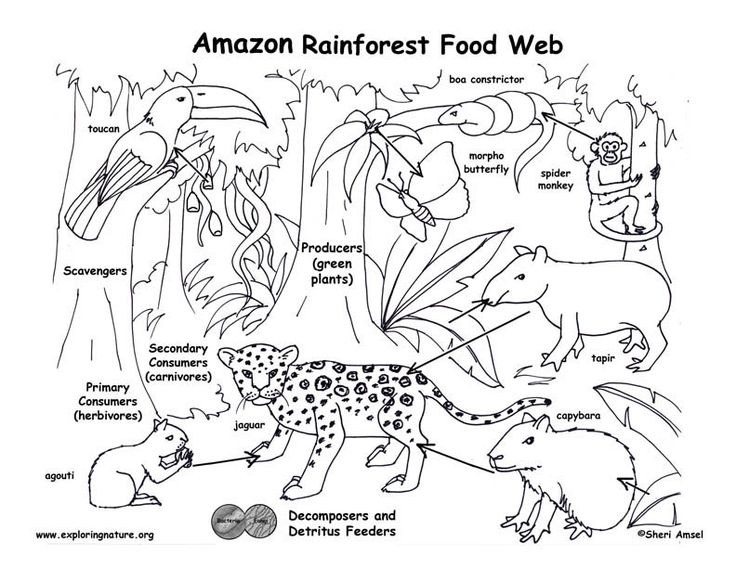 17 best ideas about Rainforest Food Chain on Pinterest.