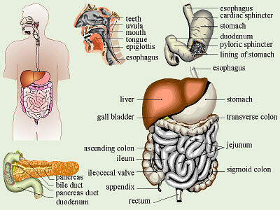 Digestion of Food Clip Art.
