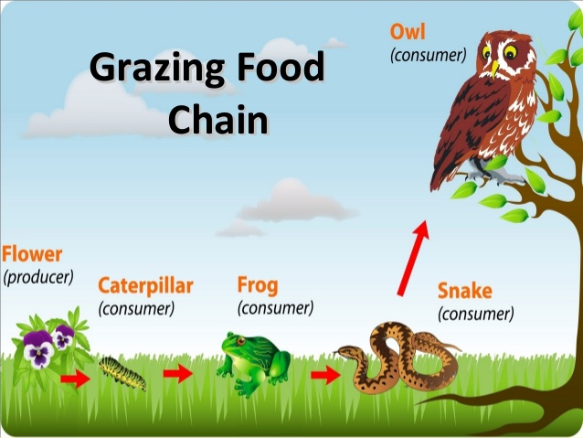 Food chain,food web and ecological pyramids.