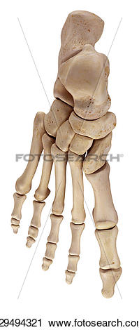 Clipart of The foot bones k29494321.