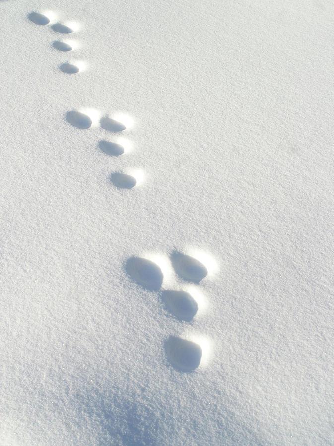 Rabbit Footprints In The Snow 3.