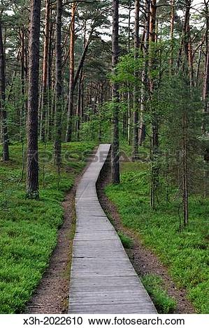 Stock Photography of footway through the coastal pine forest in.