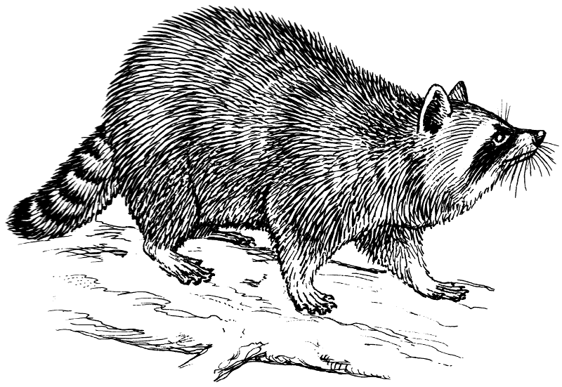 Free Raccoon Foraging Clipart, 1 page of Public Domain Clip Art.