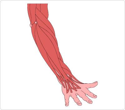 Musculature Forearm Clip Art.