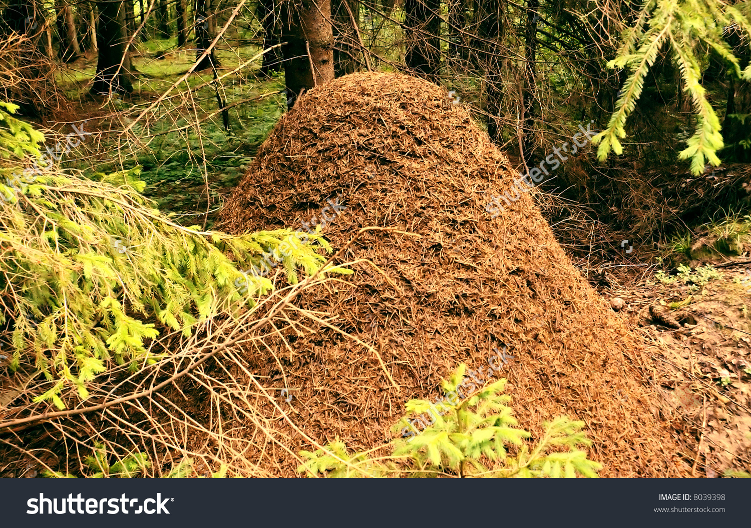 Large Anthill Spruce Forest Charming Beauty Stock Photo 8039398.