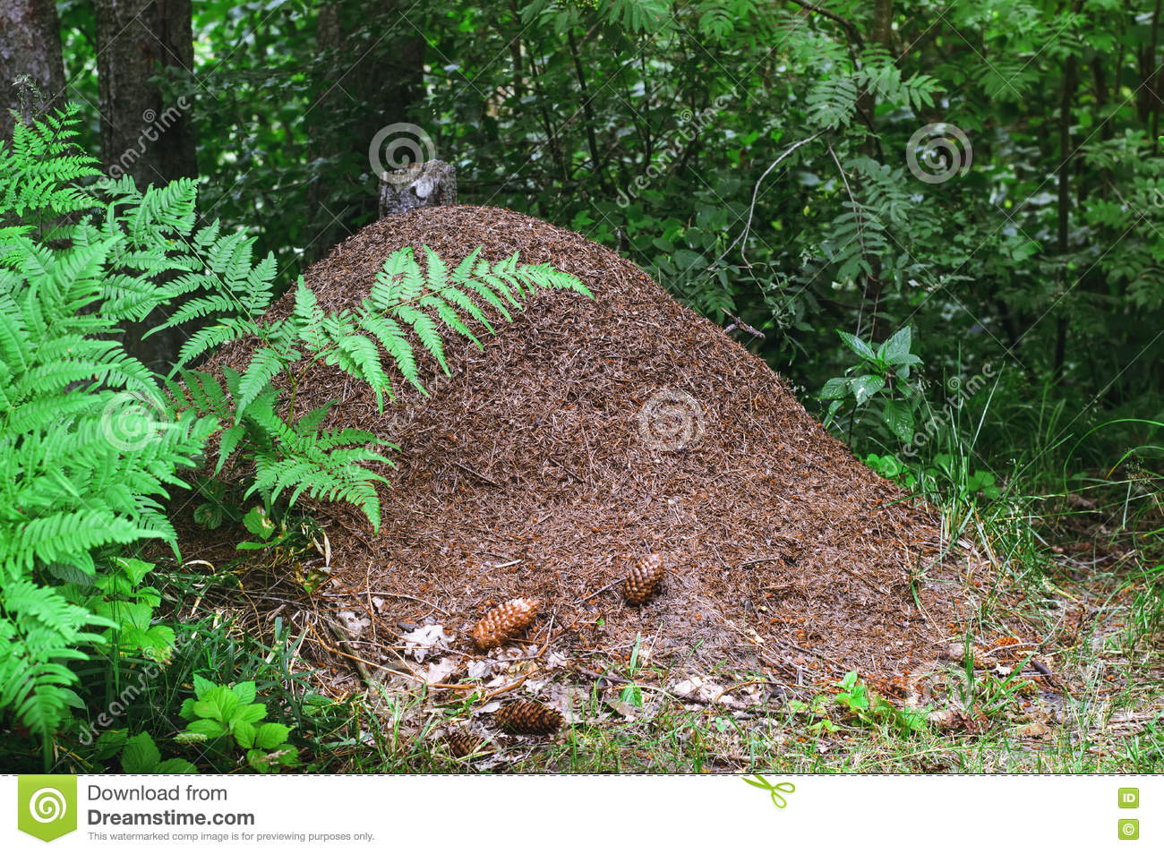 The Big Ant Hill In A Coniferous Forest Stock Photo.