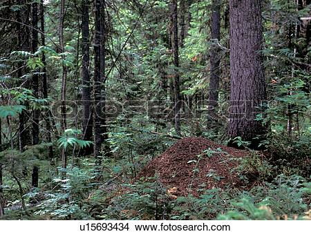 Stock Photo of Siberia, ant hill, flora, forest, forestland.