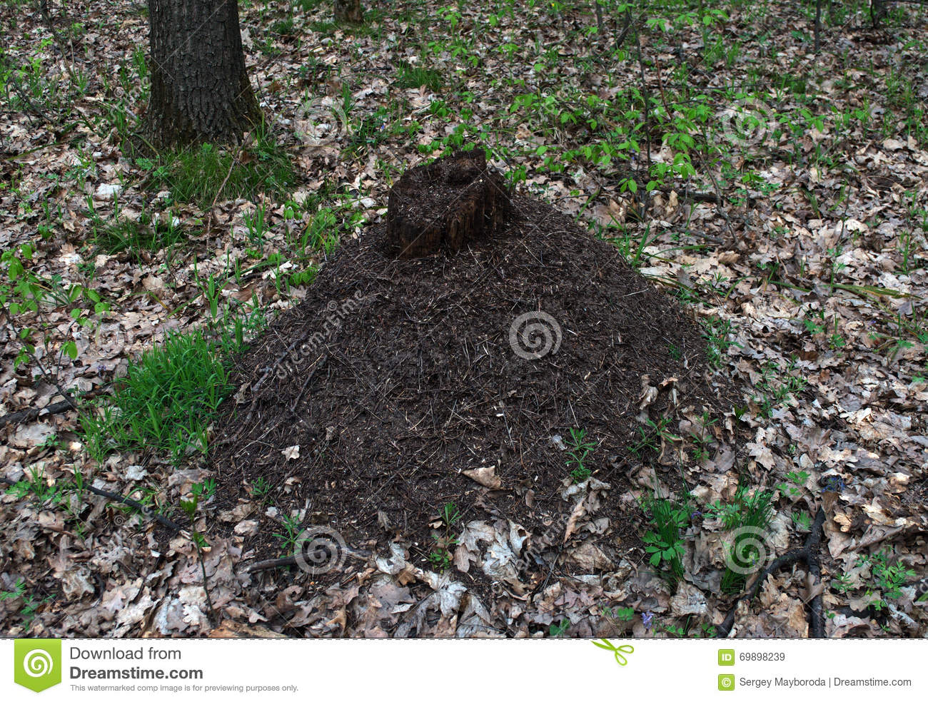 Big Ant Hill In The Forest Stock Photo.