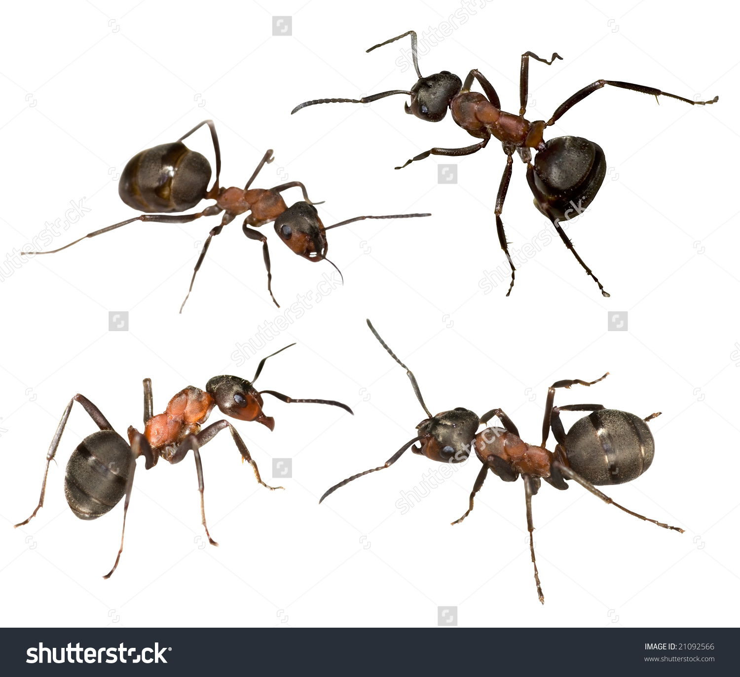 Four Big Forest Ants Isolated On White Background Stock Photo.