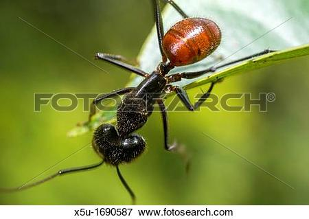 Picture of Giant forest ant foraging.