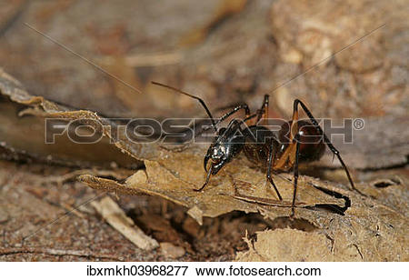 "Picture of ""Giant forest ant (Camponotus gigas), Tanjung Puting."