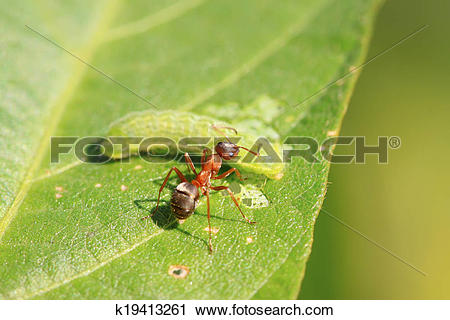 Stock Photography of mercerized brown forest ants k19413261.