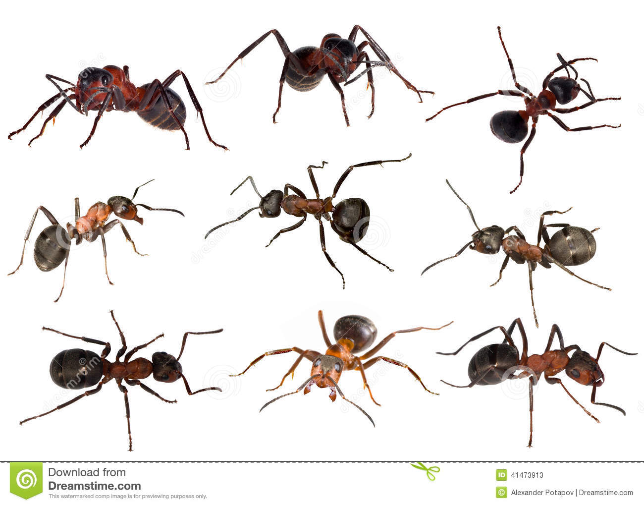 Nine Forest Ants Isolated On White Stock Photo.