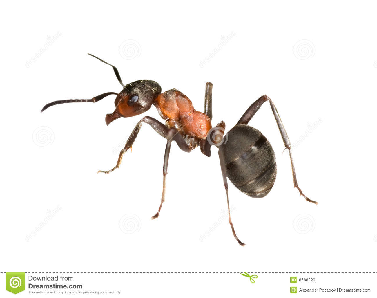 Forest Ant Left Side Stock Photo.