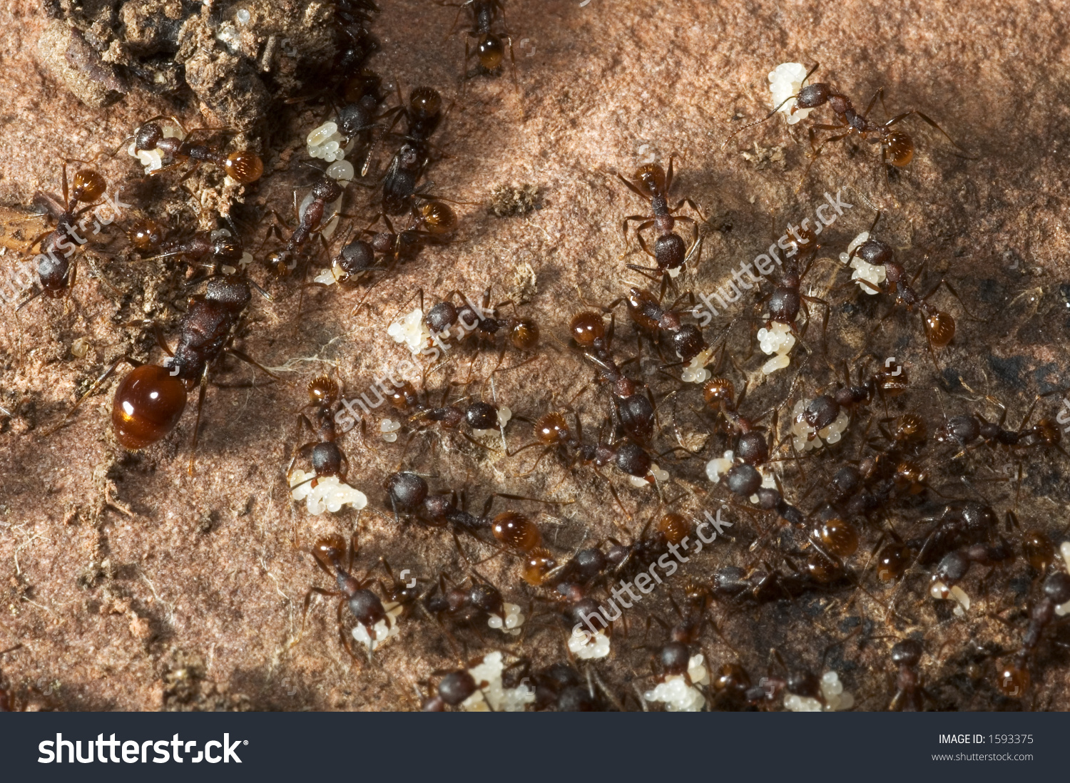 Ant Colony Evacuation(Notice The Queen On The Left) Stock Photo.