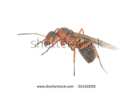 Ant Queen Stock Photos, Royalty.