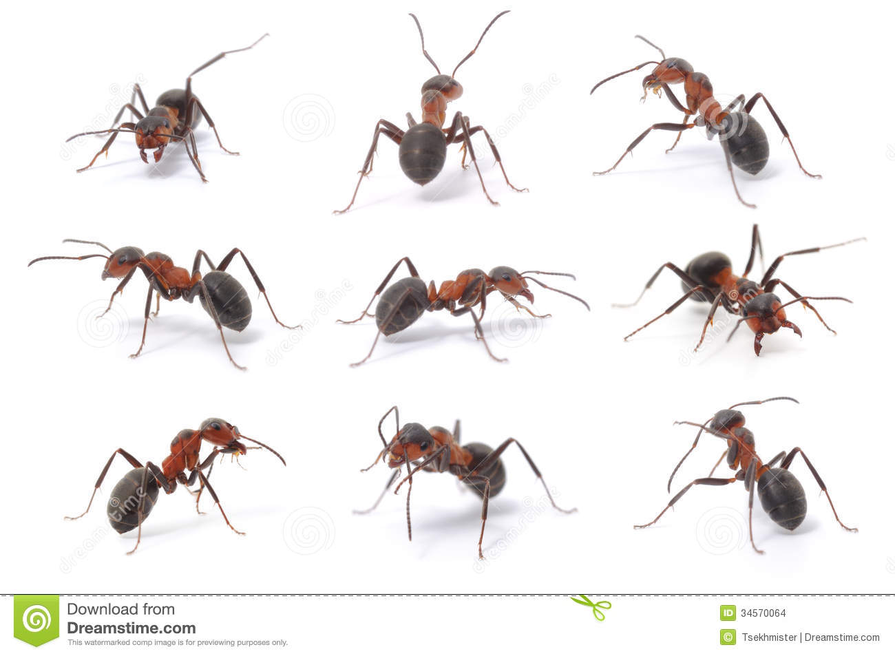 Brown Forest Ants Stock Photos, Images, & Pictures.