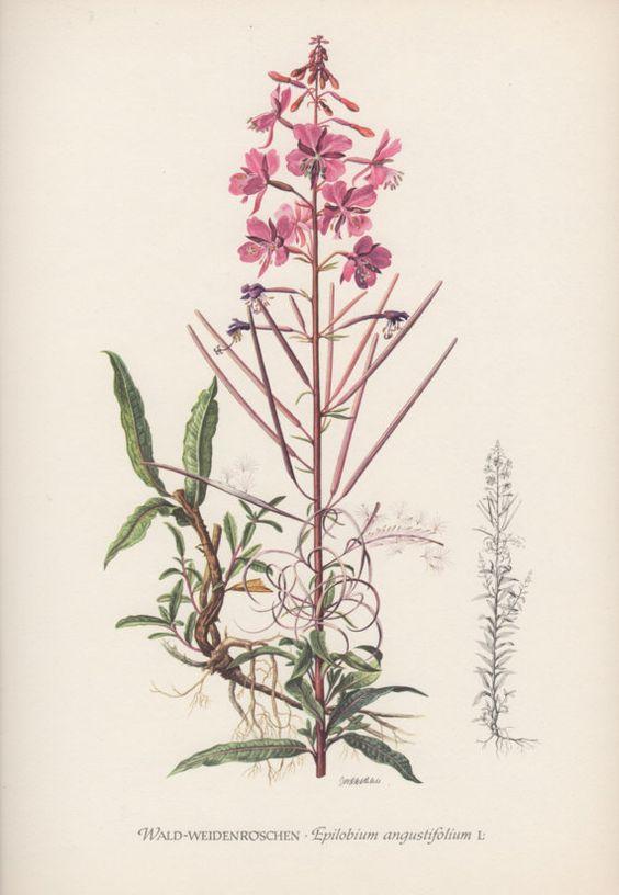 Vintage Botanical Print, Epilobium, Chamerion angustifolium.