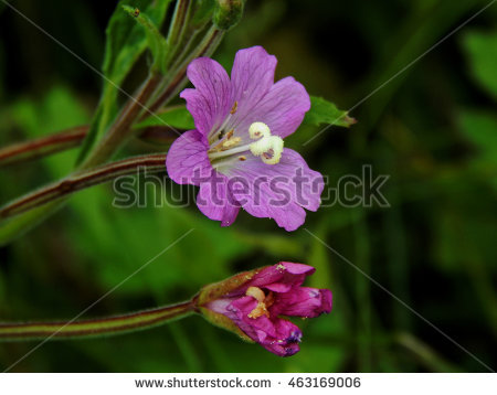 Sun Vetch Stock Photos, Royalty.