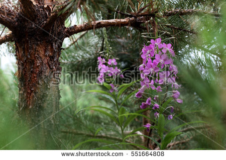 Forest Pinetree Stock Photos, Royalty.
