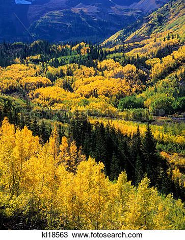 Stock Photo of aspen & spruce forest, maroon bells snowmass.