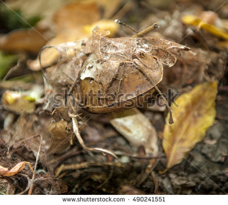 Agaricus Campestris Stock Photos, Royalty.