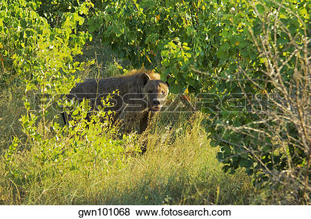 Pictures of Hyena standing in a forest, Kruger National Park.