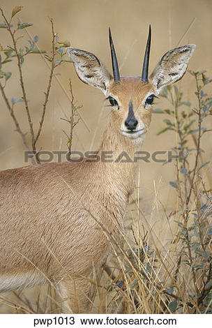Stock Photo of Male Steenbok deer with antlers standing near the.
