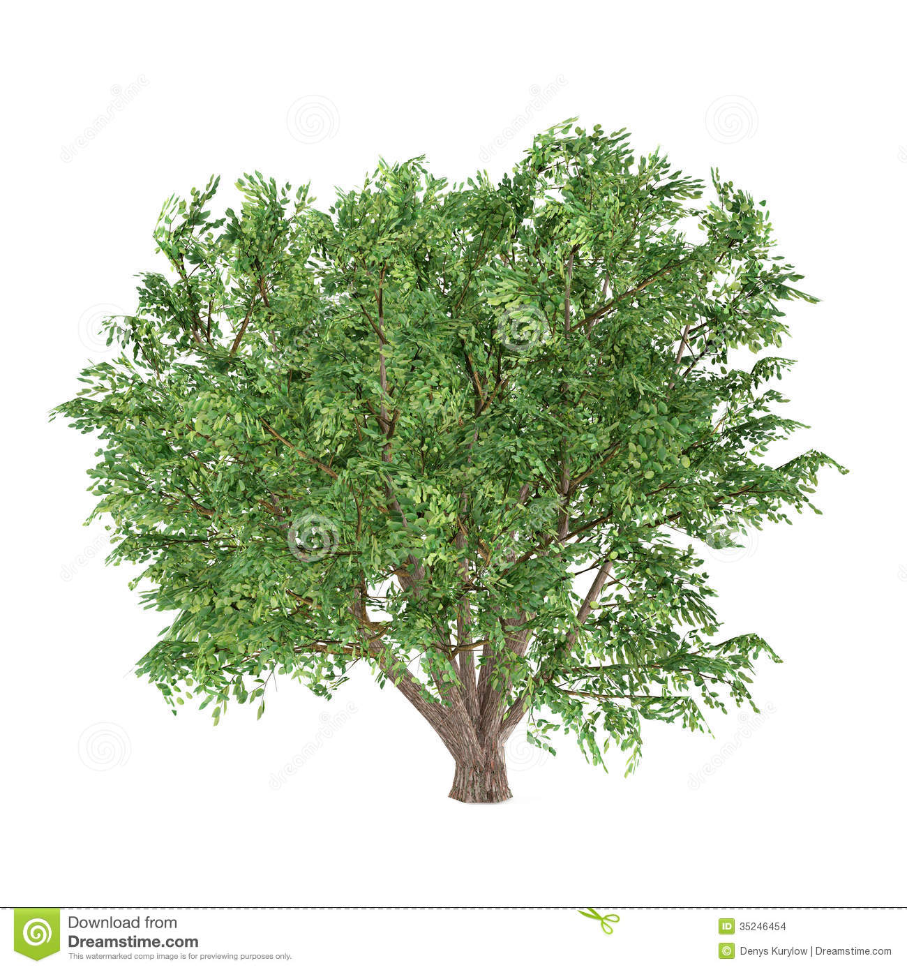 Tree Isolated. Ulmus Campestris Stock Images.