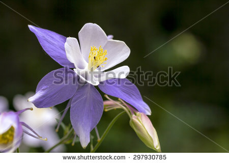 Colorado Columbine Stock Photos, Royalty.