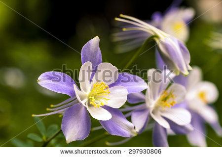 Closeup View Columbine Flower Selective Focus Stock Photo 15080479.