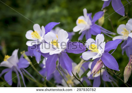 Close Blue Columbine Wildflower Blossom Bud Stock Photo 130905998.