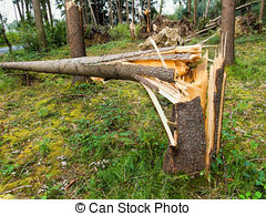Stock Images of Storm damage. Trees in the forest after a storm.