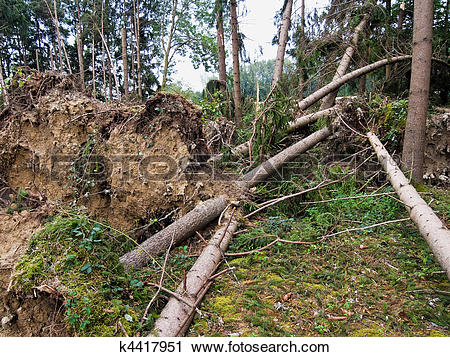 Stock Photography of Storm damage. Trees in the forest after a.