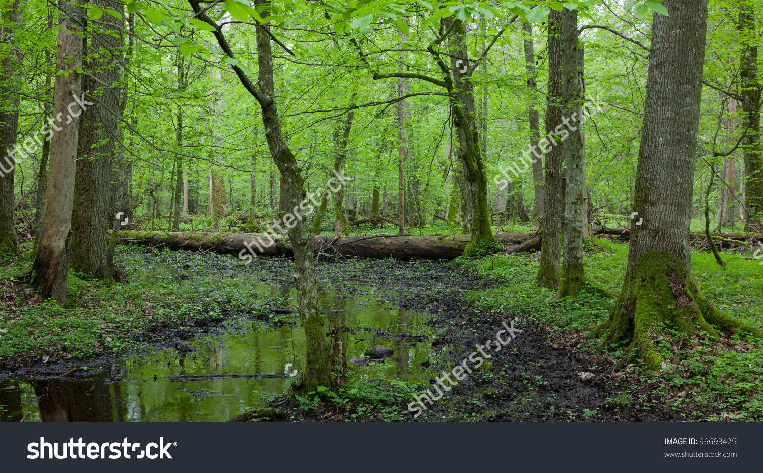Springtime Wet Deciduous Forest With Standing Water And Dead Trees.