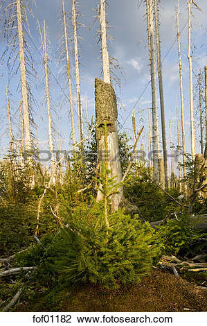 Stock Photo of Germany, Bavarian Forest, Forest dieback by bark.