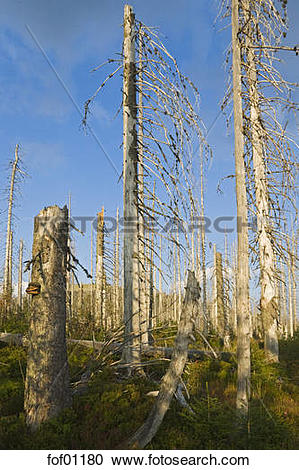 Stock Photography of Germany, Bavarian Forest, Forest dieback by.