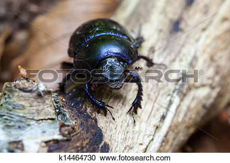Stock Photography of Forest dung beetle.
