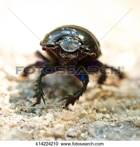 Stock Photography of Dung Beetle front k14224210.