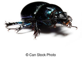 Stock Images of dung beetle head macro isolated on white.