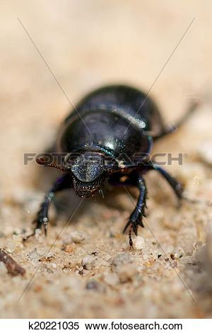 Stock Image of Macro shot of a common dung beetle walking in the.