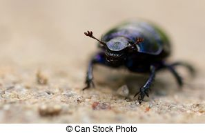 Stock Photographs of Macro shot of a common dung beetle walking in.