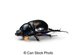 Forest dung beetle Illustrations and Clip Art. 2 Forest dung.