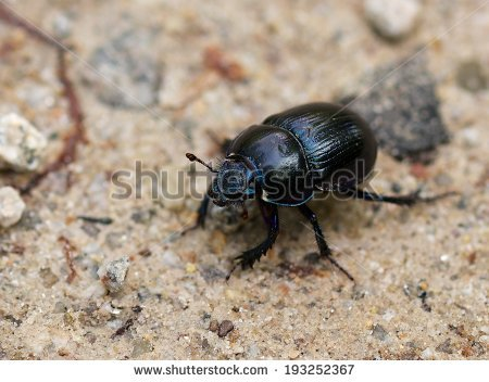 Forest Dung Beetle Stock Photos, Royalty.